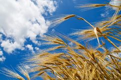 Wheat of ear Stock Photography