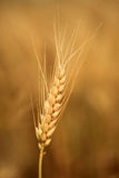 Wheat ear Stock Photo