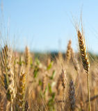 Wheat ear Royalty Free Stock Image