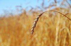 Wheat ear Stock Photos
