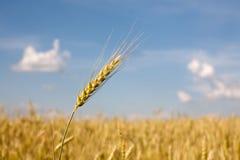 Free Wheat Ear Royalty Free Stock Image - 31919436