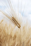 Wheat ear Royalty Free Stock Photography
