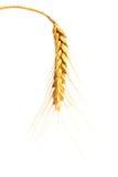 Wheat ear. A single wheat ear, isolated royalty free stock photo