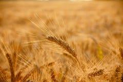 Wheat ear Royalty Free Stock Photos