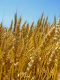 Wheat ear. Gold wheat ears on the sun stock photography