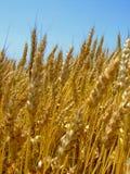 Wheat ear Stock Photography