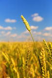 Wheat ear Stock Images