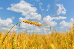 Wheat ear on a background of field and cloudy sky Stock Photo