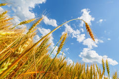 Wheat ear on a background of field and cloudy sky Stock Photos