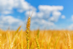Wheat ear on a background of field and cloudy sky Stock Image