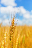 Wheat ear on a background of field and cloudy sky Stock Photography