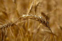 Wheat ear closeup Royalty Free Stock Images