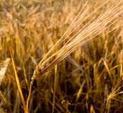 Wheat ear closeup Royalty Free Stock Photo
