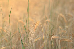 Wheat ear closeup in field - cereal background royalty free stock photography