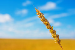 Wheat ear and cloudy sky Royalty Free Stock Images