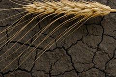 Wheat ear on dry ground Stock Photos