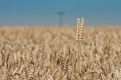 Wheat ear on the field Stock Image