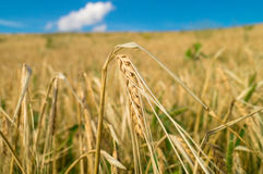 Wheat ear in a field Stock Photo