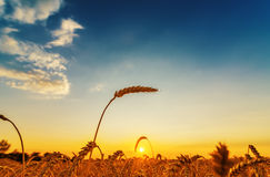 Wheat ear on field on sunset Royalty Free Stock Photography