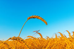Wheat ear on field, sunset time Royalty Free Stock Photo