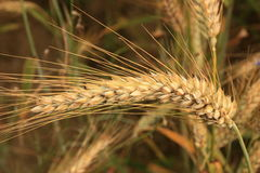 The wheat ear. Fully grained wheat ears look fabulous in detail. Tasty and some more childish, making you wish you cold touch it and peel the grain out Royalty Free Stock Photo