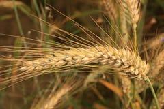 The wheat ear Royalty Free Stock Photo