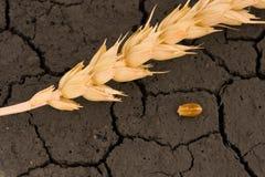 Wheat ear and grain on desert land Royalty Free Stock Photos