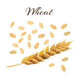 Wheat ear and grains. Royalty Free Stock Photography
