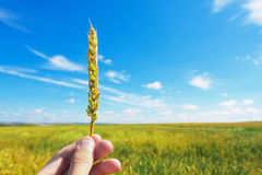 Wheat ear in hand Stock Photos
