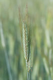 Wheat ear Stock Photos