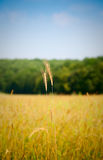 Wheat ear over rural landscape Royalty Free Stock Photos