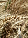 Wheat ear Stock Photography