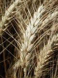 Wheat ear Royalty Free Stock Photo