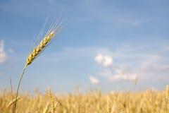 Wheat ear Stock Image