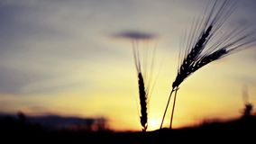 Wheat ear silhouette, VINTAGE stock video footage