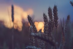Wheat ear steams in natural backlit light.  Stock Photos