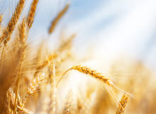 Wheat ear and sunbeam Stock Photography