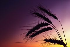 Wheat ear on sunset Royalty Free Stock Photography