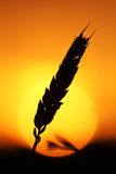 Wheat ear at sunset royalty free stock photography