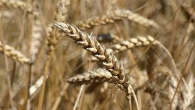 Wheat Ear Sway. Crop field swaying in the wind in harvest time in the summer. Cereal ear view.n stock video footage