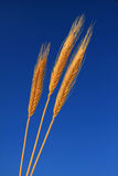 Wheat Ear Trio Royalty Free Stock Images