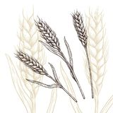 Wheat ear. Vector illustration. Ink line draw vector.  engraving illustration Stock Photo