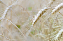 Wheat ear in wheat field. Mellow wheat ear in wheat field Stock Photos