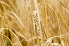 Wheat and ear of wheat Stock Images