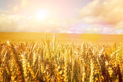 Wheat in the early morning sun Royalty Free Stock Image