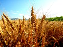 Wheat in early summer Stock Photography