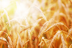 Wheat in early sunlight. Golden wheat field in early sunlight Stock Image