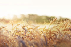 Wheat in early sunlight Stock Images