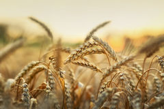 Wheat in early sunlight Royalty Free Stock Image