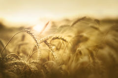 Wheat in early sunset Stock Images